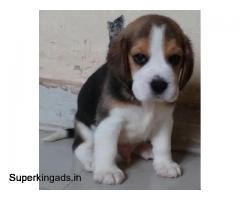 PUPPIES FOR SALE IN PUNE