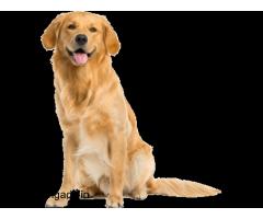 Golden Retriever Puppies In Chennai